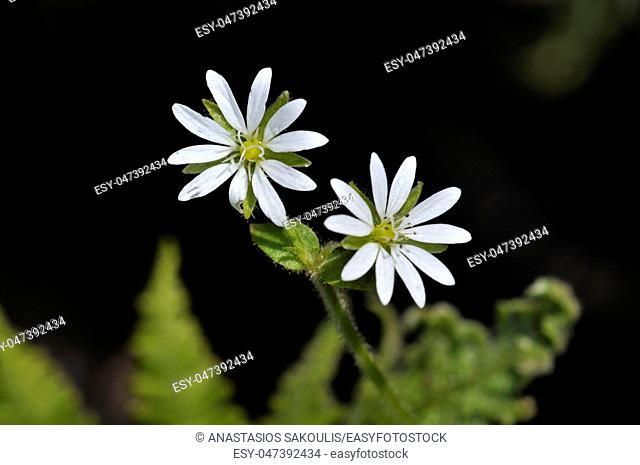 Flowers of chickweed (Stellaria media), Crete