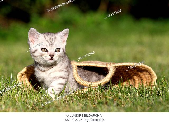 British Shorthair. Tabby kitten (8 weeks old) looking out from a shopping bag lying on a lawn. Germany
