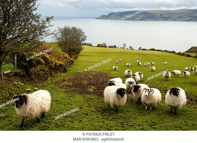 Sheeps, Cushendall, county antrim, ireland
