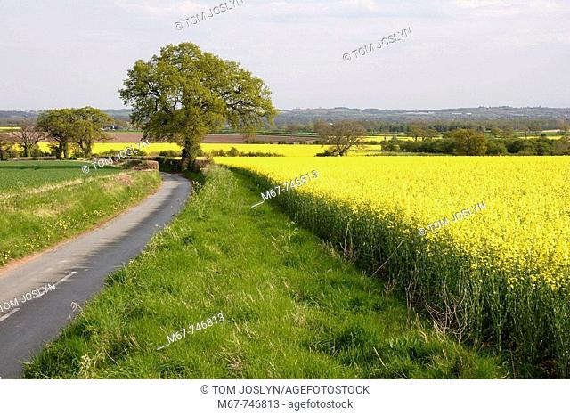 Oil seed rape field and counry lane Near Newport , Shropshire , England , UK