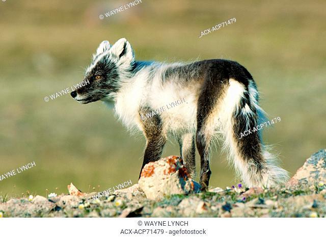 Arctic fox (Alipex lagopus) in transitional summer pelage, Victoria Island, Nunavut, Arctic Canada
