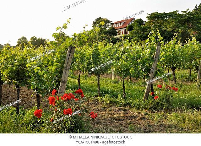 Grinzing Vineyard Vienna Austria Europe