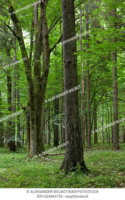 Old birch tree in foreground and bunch of oak in deciduous stand stand in background,Bialowieza Forest, Poland, europe