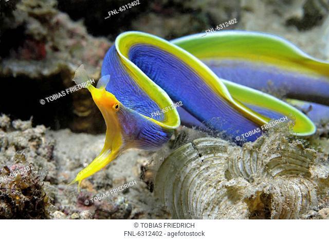 Ribbon eel Rhinomuraena quaesita, Vitu Islands, Bismark Sea, Papua New Guinea, underwater shot
