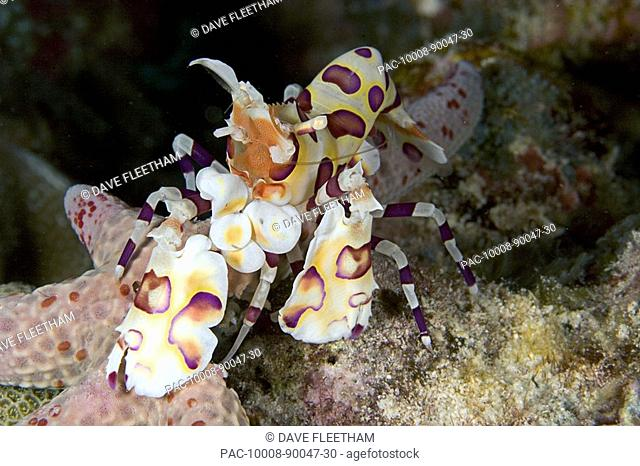 Hawaii, Close-up of Harlequin shrimp Hymenocera picta feeding on a seastar