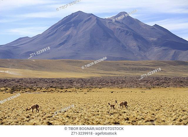 Chile, Antofagasta Region, Atacama Desert, Andes Mountains, vicunas, vicugna vicugna, Cerro Miscanti,