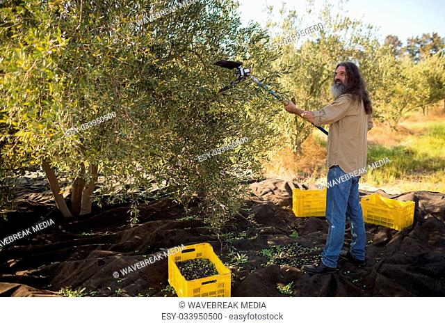 Farmer using olive picking tool while harvesting