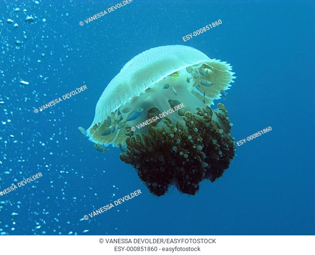Jellyfish in the Andaman See, Thailand, near Ko Lipe