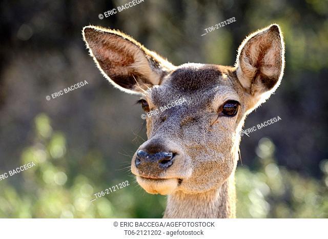 Head portrait of red deer doe / female (Cervus elaphus), Monfrague National Park, Unesco Biosphere Reserve, Extremadura, Spain, December 2013