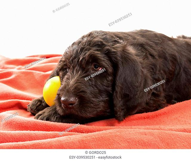 Closeup of brown labradoodle with selective focus on his face holding his favorite ball between his paws with white background in the top area of the image