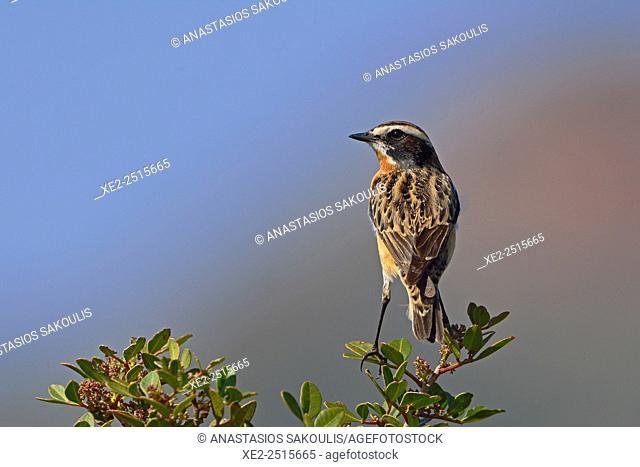Winchat Saxicola rubetra, Crete, Greece