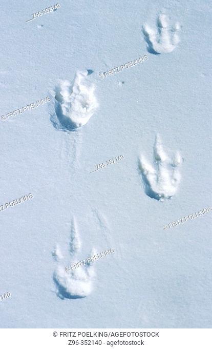Emperor Penguin (Aptenodytes forsteri). Dawson-Lambton glacier, Antarctica