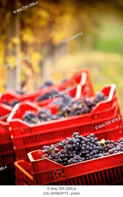 Crates of red grapes of Nebbiolo, Barolo, Langhe, Cuneo, Piedmont, Italy