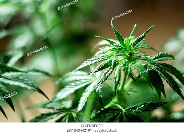 Macro shot cannabis flower in water drops