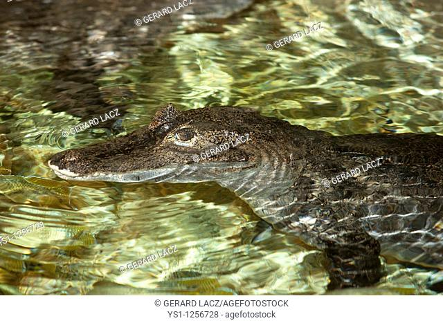 SPECTACLED CAIMAN caiman crocodilus, HEAD OF ADULT EMERGING FROM WATER