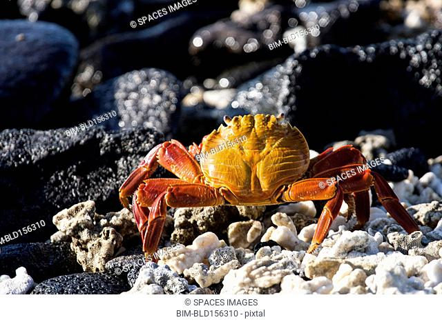 Close up of crab on rocky beach