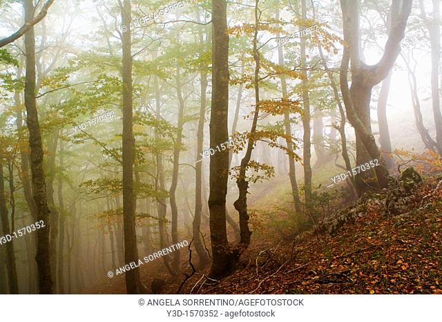 Early morning fog in a beech wood  Photo taken in Laceno  Province of Avellino, Campania, Italy