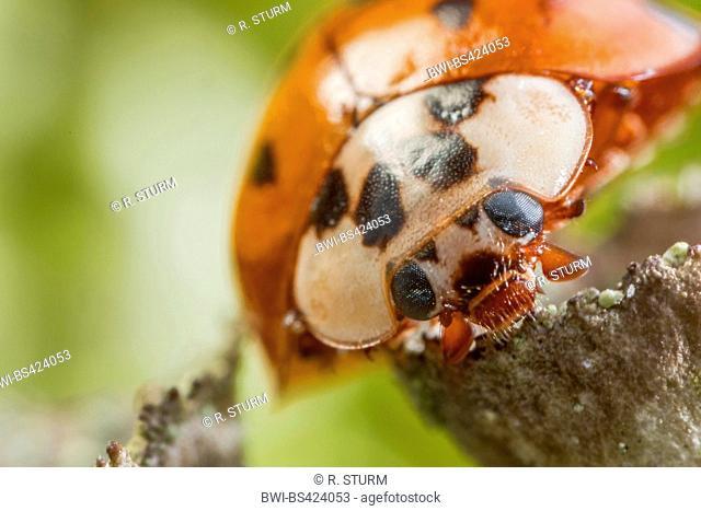 multicoloured Asian beetle (Harmonia axyridis), Portrait, Germany