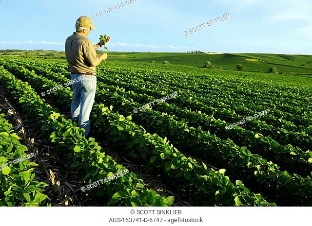 Agriculture - A farmer stands in his rolling mid growth no-till soybean field holding, and inspecting, a soybean plant / IA
