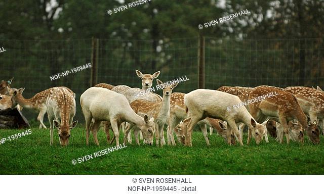 Herd of Fallow deer Dama dama grazing in a field