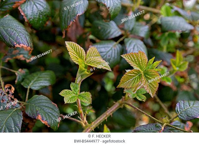 shrubby blackberry (Rubus fruticosus agg.), young leaves, Germany
