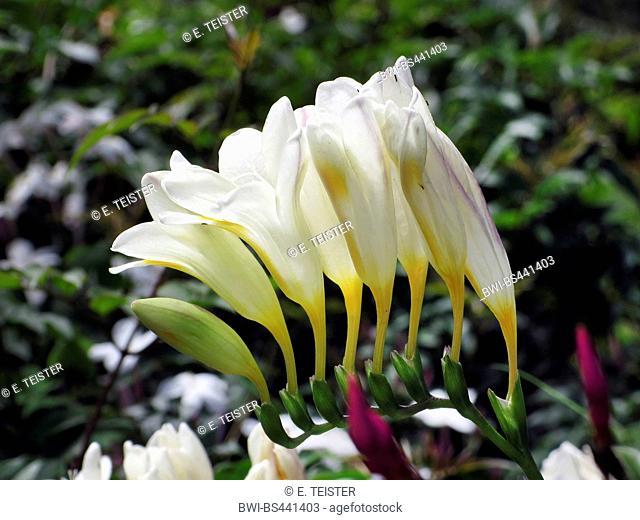 Freesia (Freesia spec.), inflorescence, Madeira