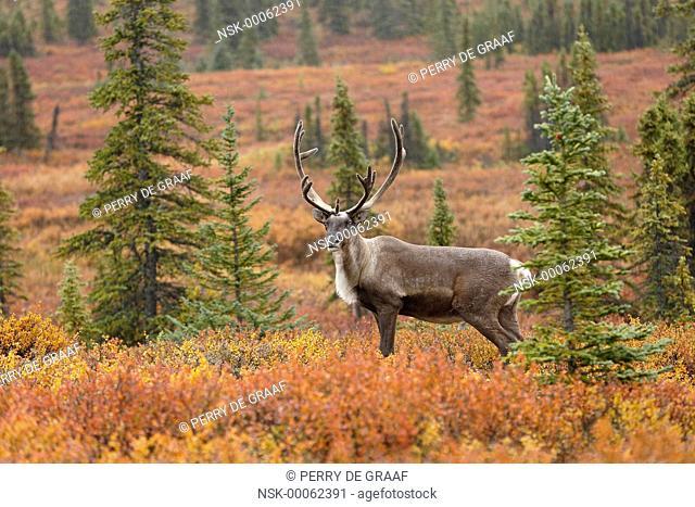 Caribou (Rangifer tarandus) bull on tundra, United States, Alaska, Denali National Park and Preserve