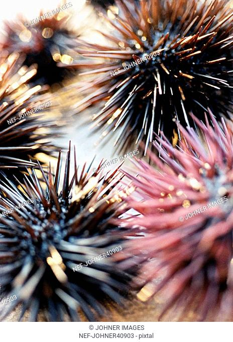 Sea urchins, close-up