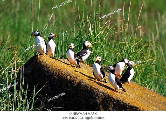 Horned puffins, Fratercula corniculata, USA, America, United States, North America, Alaska, puffin, birds, bird, natur