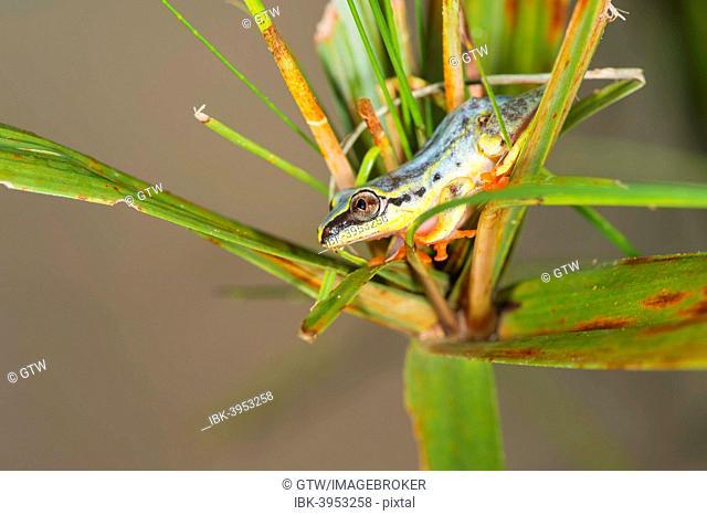 Blue-back Reed Frog (Heterixalus madagascariensis), Madagascar