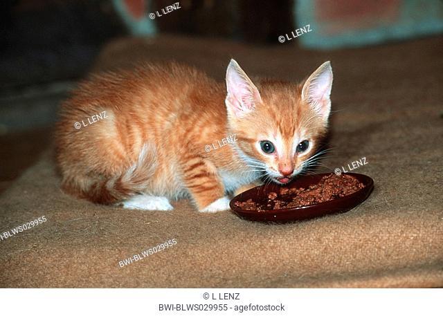 domestic cat, house cat Felis silvestris f. catus, young kitten eating