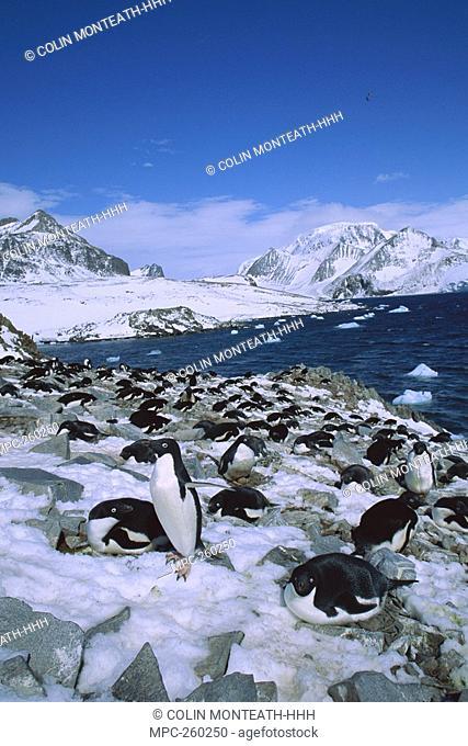 Adelie Penguin Pygoscelis adeliae, rookery at Hope Bay, Antarctic Peninsula, Antarctica