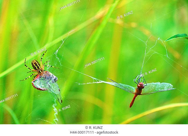 Wasp spider, Argiope bruennichi, Araneidae, spider, spider web, prey, Vagrant Darter, Sympetrum vulgatum, Libellulidae, dragonfly, insect, animal, La Sauge