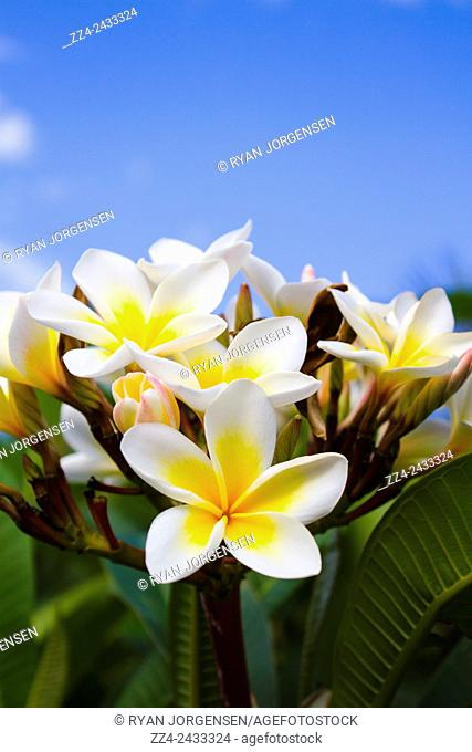 Bright nature photo of beautiful white frangipani flowers shot with blue sky masthead. Queensland flora