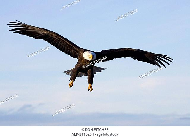 Bald Eagle With Talons Extended Prepairing To Land Homer Spit Kenai Peninsula Winter