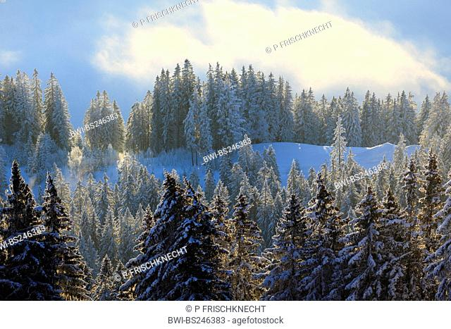snow-covered conifer forest, Switzerland, Berner Voralpen, Gurnigel