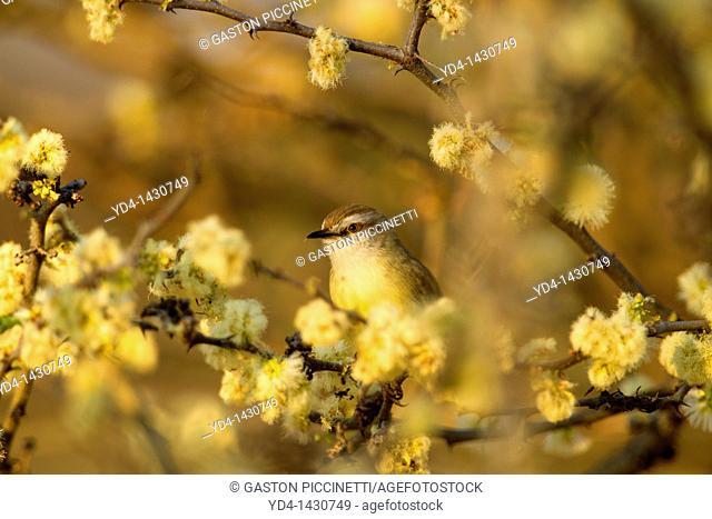Blackchested Prinia Prinia flavicans, Kalahari desert, Mabuasehube, Kgalagadi Transfrontier Park, Kalahari desert, Botswana