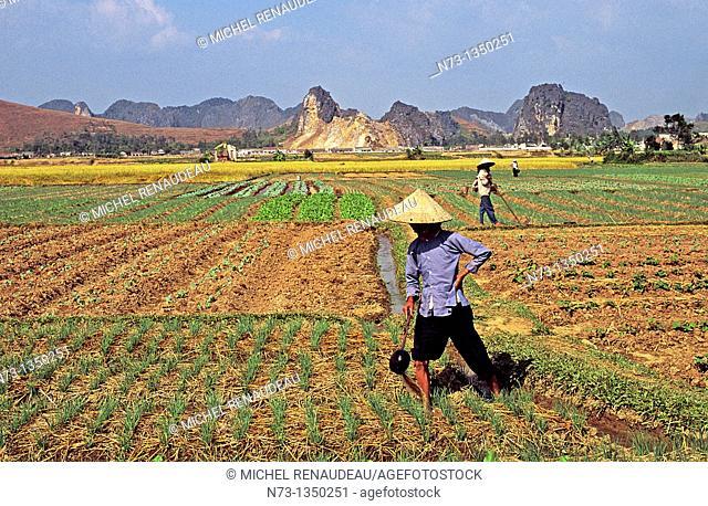 Vietnam, rice field work in northern