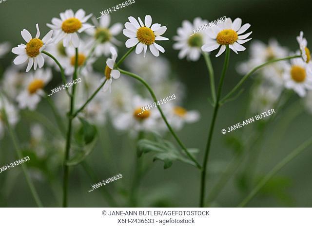 leggy feverfew, charming daisy-like tansy