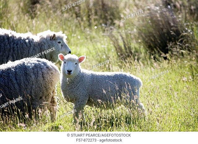 Sheep, Aspiring National Park, South Island, New Zealand