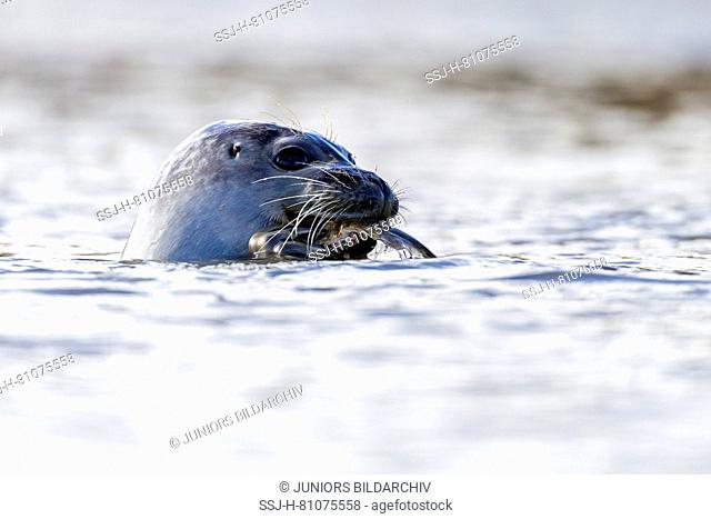 Common Seal, Harbor Seal (Phoca vitulina) eating an European Flounder. North Sea, Germany