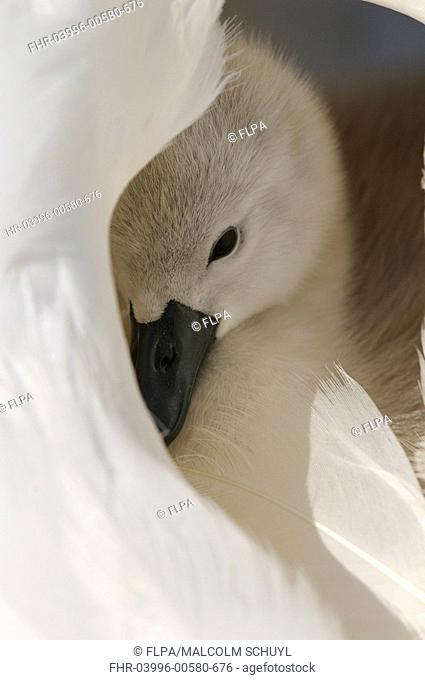 Mute Swan Cygnus olor cygnet, resting amongst feathers of adult female, Abbotsbury, Dorset, England