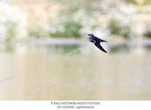 Barn Swallow ( Hirundo rustica ) in fast flight, hunting over water, wildlife, Europe