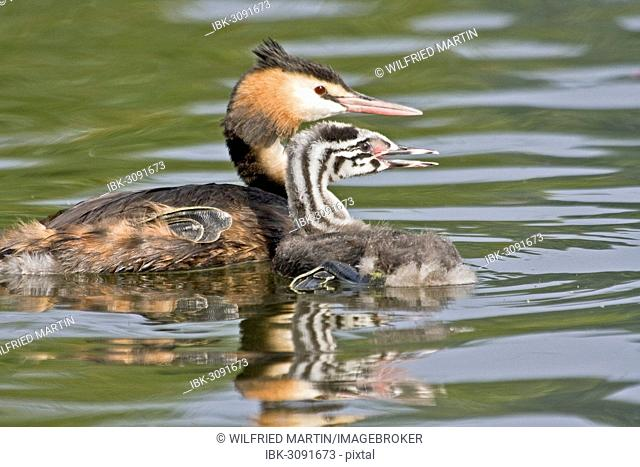 Great Crested Grebe (Podiceps cristatus) with chick, young bird, North Hesse, Hesse, Germany