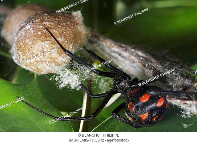 Italy, Araneae, Theridiidae, Mediterranean black widow or Steppe spider (Latrodectus tredecimguttatus), female protecting its cocoon