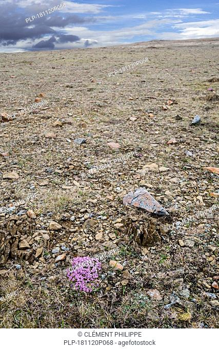 Moss campion / cushion pink (Silene acaulis) in flower on serpentine debris at the Keen of Hamar nature reserve, Unst, Shetland Islands, Scotland, UK