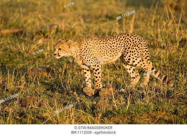 Young Cheetah (Acinonyx jubatus), Masai Mara, Kenya, Africa