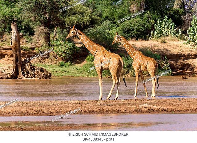 Reticulated Giraffes (Giraffa camelopardalis reticulata) standing in the river, Samburu National Reserve, Kenya