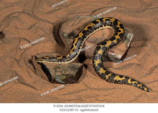 Sand Boa (Eryx colubrinus), Science North, Ontario, (captive)