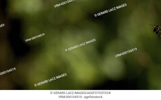 European Honey Bee, apis mellifera, Adult flying against green background, Slow motion